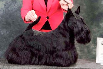 Scottish Terriers In Lithuania Ugninis Chalcedonas